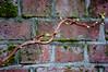 Jack's Beanstalk against the Brick Wall (Orbmiser) Tags: 55200vr autumn d90 fall nikon oregon portland brick wall creeping branch stalk twisting plant