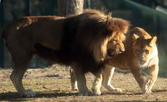 african lion Beekse Bergen JN6A5561 (j.a.kok) Tags: leeuw lion afrikaanseleeuw africanlion pantheraleoleo zoogdier mammal predator afrika africa