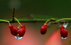 Burning Bush Berries (Reid2008) Tags: burningbush euonymusalatus berries arils rain raindrops