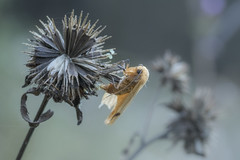 Once (dlorenz69) Tags: nature natur meadow field wiese wald wood forest macro makro insect insekt dead death tod remnants reste überbleibsel leben life moth motte falter diestel thorns dornen