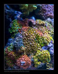 INZOzoanthus5507 (kactusficus) Tags: germany aquarium marine nuremberg hobby 2014 petfair reefaquarium zoanthid zoanthus aquaristic interzoo