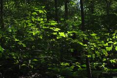 bright leaves (Molly Des Jardin) Tags: park trees light usa green leaves forest dark shadows state pennsylvania sunny lancaster brilliant 2014 susquehannock drumore 43215mm