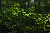 bright leaves (Molly Des Jardin) Tags: park trees light usa green leaves forest dark shadows state pennsylvania sunny lancaster brilliant 2014 susquehannock drumore 43215mm