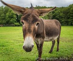 Donkey... (Tony Brierton) Tags: ass donkey lahinch coclare asal 2815 fallshotel