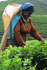 Tea picker, Sri Lanka (giada.luppino) Tags: travel woman workers tea terraces tourist srilanka hardwork holyday teapicker lovetravel lovetakingphotos