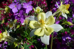 Aquilegia (dgardenia) Tags: flowers dog pet bulb spring stock lawn lilac columbine californianpoppy freesia nemesia grannysbonnet spanishbluebell yarnie