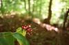 More Berries and BS (Georgie_grrl) Tags: friends red ontario woods berries bs photographers social pentaxk1000 outing caledon rikenon12828mm glenhaffyconservationarea torontophotowalks akablurryshit topwghca