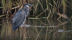 *ACK!* (Rich Parkinson) Tags: bird nature water nikon greatblueheron gbh wadingbird nikond810