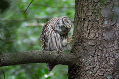 """""""That's the Spot"""" (Barred Owl) (Jesse_in_CT) Tags: barredowl tamron150600mm"""