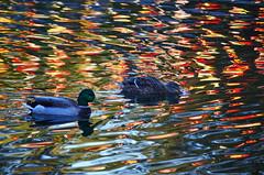 Ripple effect (James_D_Images) Tags: colour reflections river spokane ducks ripples washingtonstate
