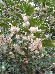 Osmanthus heterophyllus 'Gulftide', New York Botanical Garden (Kristine Paulus) Tags: flowers fall bronx nybg hollyolive osmanthusheterophyllusgulftide