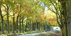 (Cajaflez) Tags: autumn trees cycling bomen herbst herfst arbres fietsen herfstkleuren beuken leersum autun beukenlaan bomenlaan