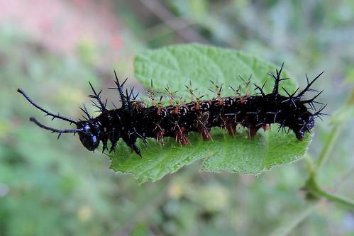 San Jose Succotz - Unidentified Caterpillar