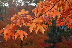 (James Mundie) Tags: autumn orange fall halloween autumnleaves foliage mundie changeofseason copyrightprotected jamesmundie jamesgmundie profjasmundie jimmundie copyright©jamesgmundieallrightsreserved