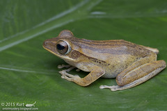 Polypedates leucomystax_MG_5216 copy (Kurt (OrionHerpAdventure.com)) Tags: amphibian frog amphibians amphibia polypedatesleucomystax fourlinedtreefrog