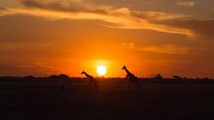 20151106_Savuti_0148.jpg (eLiL1860) Tags: giraffe botswana tierwelt safari2015
