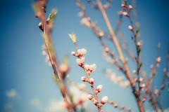 Blossom (Just A Stray Cat) Tags: blue sky flower tree film nature field analog 35mm canon cherry 50mm nikon dof blossom bokeh peach s bloom mm manual nikkor 50 35 depth ai f12 bokehlicious f12s