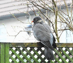 Woodpigeon(Columba palumbus) (jdathebowler Thanks for 755,000+ views.) Tags: bird wow woodpigeon columbapalumbus naturescall