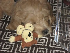 sebi--livin-large-in-nyc--hes-one-of-lilly-and-chewys-puppies-_3448218349_o