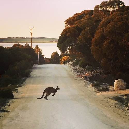 A kangaroo in the middle of the road, Kangaroo Island, Australia