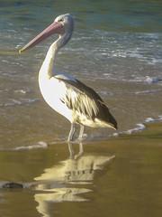Pelikan pelican Australien Australia