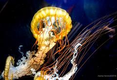 2016. Kagoshima. (Marisa y Angel) Tags: 2016 acuario chrysaorafuscescens ioworldkagoshimacityaquarium japan japn jellyfish kagoshima kyushu medusa ortigademar pacificseanettle
