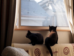 patrol watching (matsugoro) Tags: olympus digital pen epl2 zuiko 50mm cat myroom