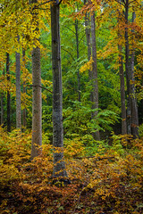 Beech forest (marregurra2012) Tags: forest tree autumn fall sweden leaves coolers