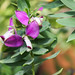 Myrtenblättriges Kreuzblümchen (Polygala myrtifolia)