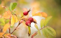 Rose Hips (imageseekertoo (Wendy Elliott)) Tags: kamloops kamloopsbc fallcolour pricklyrose rosehips wendyelliott wendyelliottphotography wildrose wildflower
