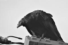 Jote cabeza colorada / Turkey vulture (Cathartes aura) (Javiera C) Tags: puñihuil chile chiloé animal fauna ave bird avemarina naturaleza nature jote zopilote turkeyvulture cathartesaura carroñero