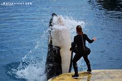 Alien Training with Moana (GALINETTE1208) Tags: complicité love amour orca trainers soigneur killer whales marineland antibes cote dazur orque moana inouk wikie keijo water eau eclat trasher alien training 2016