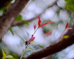 """""""UNTITLED"""" ( ) Tags: nex7 canon 50mmf095 dreamlens autumn leaf red tree outfocus bokeh masterphotos"""