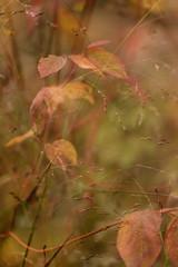 autumn border (Wendy:) Tags: incameramultiimage multimage autumn grasses panicumsquaw russet bokeh corpus dogwood cornusalbasibirica odc me