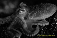 Ah... (kayak_no1) Tags: nikon d800e nauticamhousing 105mmvr diopter ysd1 subsee10 underwater underwaterphotography macro supermacro diving scubadiving uw lembehstrait indonesia octopus
