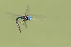 Rubino Blue eyed Darner in flight  20161009 Tijuana River Valley CA 314 (Ryan Rubino) Tags: blue eyed darner aeshna multicolor flight dragonfly closeup contortionist