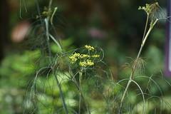 DSC03670 (oliveplum) Tags: yellow flowerdome tribaltempofloraldisplay olympusomsystemzuikomcautot12f85mm sony gardensbythebay bokeh singapore marinabay