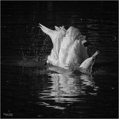 swan bathing (marneejill) Tags: swan bathing river