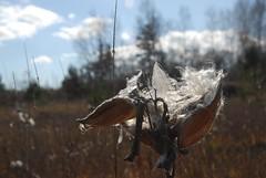 DSG_7384 (Greying_Geezer) Tags: 2016 hazelbird ncc natureconservancyofcanada hamiltontownship ort hiking naturereserves commonmilkweed milkweedpodseed seeds