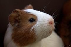 cavia peruviana, guinea pig (miriamdovidio) Tags: cavia peruviana guineapig mammifero roditore