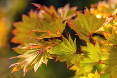 Sunlit Autumn (pollylew) Tags: autumn colour light leaves acer