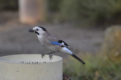 Jay (David Lev) Tags: nirim mygarden birdbath bird