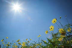 Sun light yellow (Jien Tohr) Tags: cosmos autumn flower fewcolors plants wallpaper