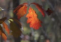 Goodbye November (KsCattails) Tags: autumn fall foliage kscattails leaf orange red