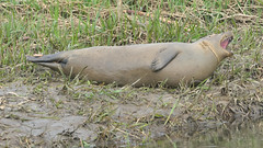 Harbour Seal (image 2 of 3) (Full Moon Images) Tags: houghton mill nt national trust river great ouse cambridgeshire animal mammal common harbour seal