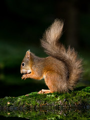 Red Squirrel (alanrharris53) Tags: red squirrel hawes yorkshire mammal tail sunlight