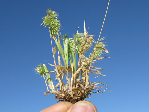Lamarckia aurea plant11 NWS