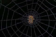 Too Early for Christmas Lights (Procrustes2007) Tags: spider araniellasp cucumberorbweaver arachnid nikond50 nikkor50mmais tamron2xteleconverter vivitarextensionrings68mmtotal flash greatcornard sudbury suffolk uk britain england gridreftl883407