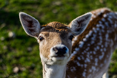 _IMG6040 (leroypierrick) Tags: animaux creuse daim evauxlesbains france limousin suede