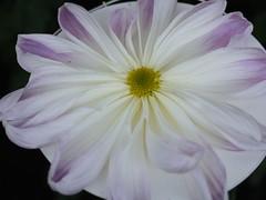 Ichimonji-giku (s.itto) Tags: shinjukugyoen autumn chrysanthemum november morifolium